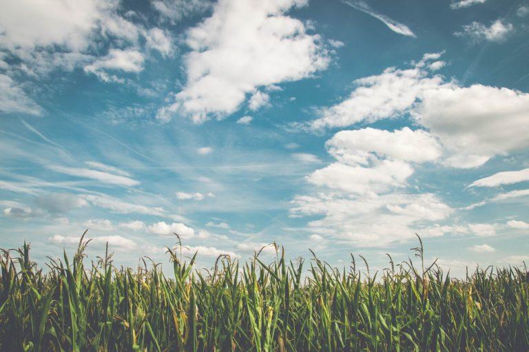 Prawidłowa ochrona kukurydzy